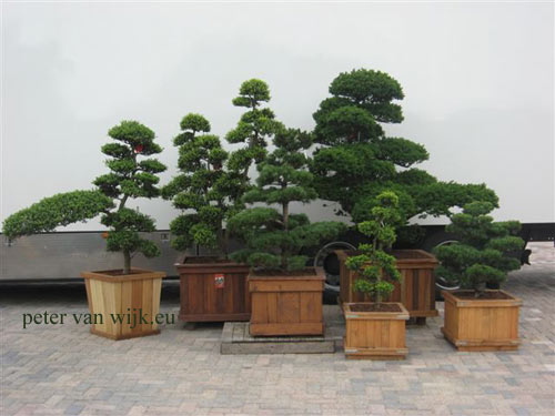 Japanische gartenbonsai bei peter van wijk - Japanische gartenpflanzen ...